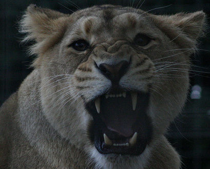 An angry lion roars.