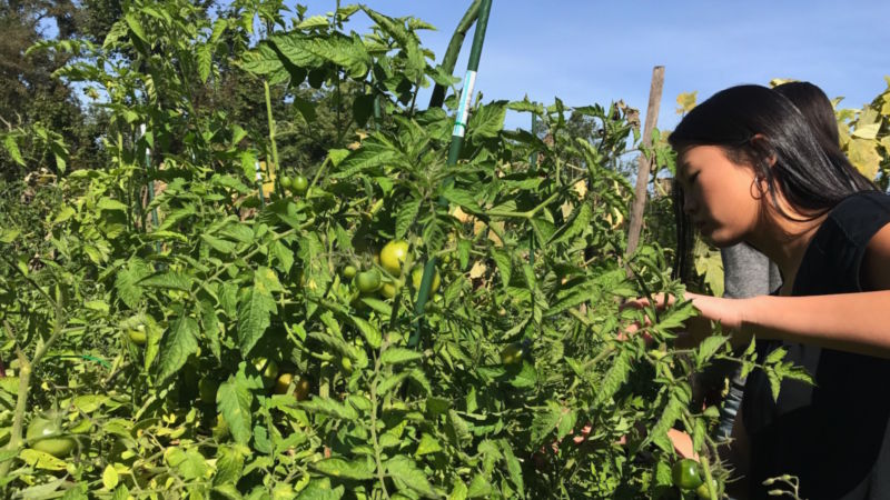 A student peers into a tomato plant searching for ripe fruti.